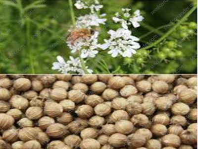 coriander seeds suppliers
