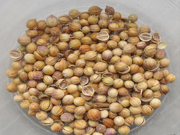 Top Quality Coriander Seeds wholesale Suppliers