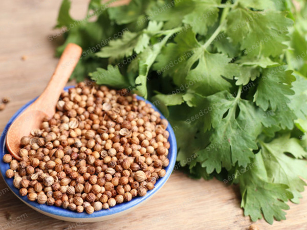 Coriander Seed buy for Bulk Spice Importers