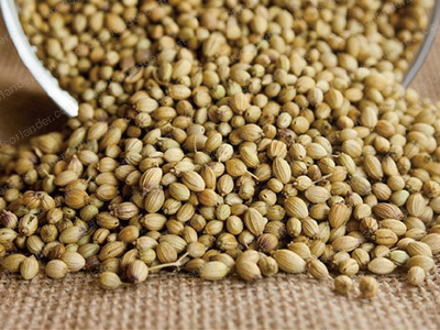 coriander seeds wholesales