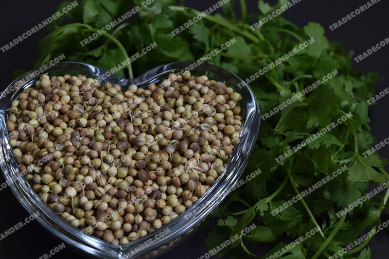 Best price White Coriander Seed for Sale